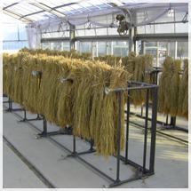 研究所で種籾の採取を行っている様子